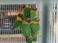 Pretty Birds for sale. Perfect companions are awaiting