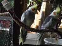 Hi I have the adhering to birds available for sale. I