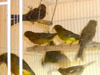 Gloster males, females and canaries, 50 dollars