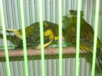 Gloster canaries, pair, male/female, one crested, one
