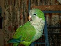 Eco-friendly Quaker 9 months old with cage $ 275. was