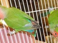 Love Birds, peach face, breeding pair, 50 dollars for