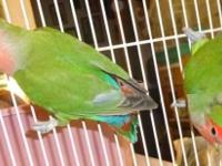 Love Birds, peach face, 40 dollars for pair with a free