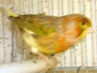 Canary, red factor, male, singing, with his cage, food