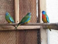 one pair scarlet chested parakeets 300$.. one pair