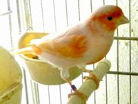 Mosaic canary, young, in good health, perfect feather,