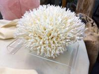 Birds Nest Corals. Numerous sizes and costs. Envisioned