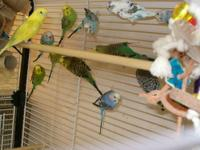 I have lots of baby parakeets, lots of colors, all