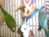 Quaker parrots, DNAd banded pair, one blue and one