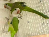 Breeding pair of Quaker parrots, split to blue, 2 years