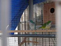 Quakers, DNAd M/F, split to blue, breeding pair or