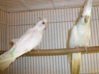 Cockatiels (albino) all white with red eyes, moving,