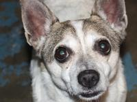 Birdy is a 4-5 year old, 13#, Corgi mix.  He is white