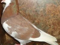 Performing Type, Birmingham Roller Pigeons for Sale for