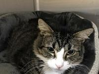 Biscuit *'s story Young Male Tabby Tuxedo