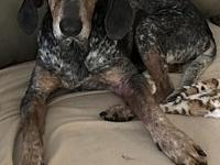 My story I am a male Bluetick Coonhound.  I was born on