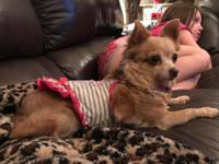 5 years old 6 pounds Chi mix Good with kids cats and