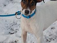 Bjorne's story Bjorne is a white and brown Fox Terrier