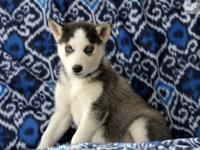 dhvbkjdk Male Siberian husky puppy. he is 12 weeks old,