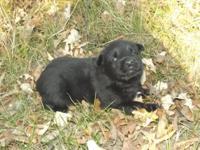 MK0302 Female...She looks like a little Bear! And Solid