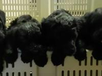 Our little girls Registered AKC Giant Schnauzer had a