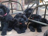 Registered AKC Giant Schnauzer born August 30. Tails