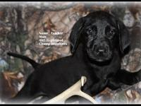 This is Tracker and he is a black Akc Labrador