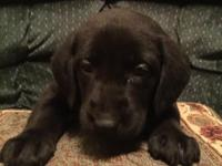 New Black and Chocolate AKC Labrador Puppies. Mom is 80
