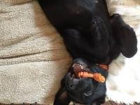 I have a male black lab. He is 9 months old. His