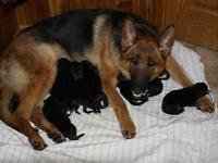 German shepherd puppies for sale black and red color