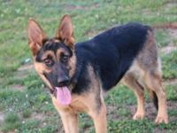 Looking for her forever home. Black and tan, 15 month