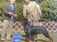 AKC CHAMPION GERMAN SHEPHERD Pups-Males and Females