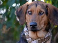 Black and Tan Coonhound - 21686 Buck - Large - Young -