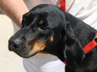 Black and Tan Coonhound - 22097 Mamasan - Medium -