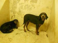 Black and Tan Coonhound - 356-12 - Large - Adult - Male