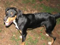 Black and Tan Coonhound - Abbie - Large - Adult -
