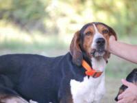 Black and Tan Coonhound - Auggie - Medium - Young -