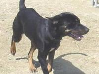 Black and Tan Coonhound - Bruce - Large - Adult - Male