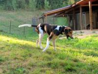 Black and Tan Coonhound - Colorado - Large - Young -