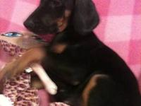 Black and Tan Coonhound - Cooper Aka Elvis - Medium -
