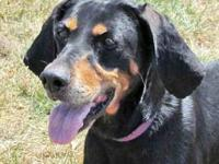 Black and Tan Coonhound - Dolly - Large - Adult -