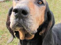 Black and Tan Coonhound - Ebony - Large - Senior -