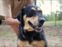 Black and Tan Coonhound - Gunner - Large - Adult - Male