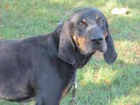 Black and Tan Coonhound - Hank~purebred - Large - Adult
