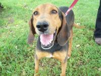 Black and Tan Coonhound - Jill - Medium - Adult -