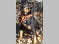 Black and Tan Coonhound - Joey - Large - Young - Male -