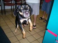 Black and Tan Coonhound - Mara - Large - Adult - Female