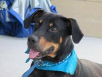 Black and Tan Coonhound - Moses - Medium - Adult - Male