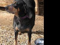 Black and Tan Coonhound - Polly - Large - Adult -
