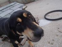 Black and Tan Coonhound - Ranger - Large - Young -